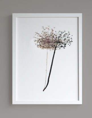 Image of framed print featuring a dried allium