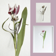 Image of a tulip silver brooch and tulip photo design